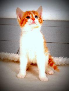 YAKIŞIKLI BRAD PİTT YUVA ARIYOR ! İSTANBUL #kedi #yuvaarayankedi #patilen.com #acilyuva