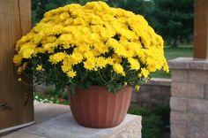 Yellow chrysanthemum flower in pot, image: lucasgreenhouses.com