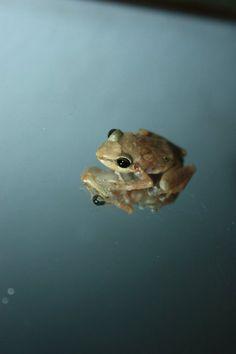 """""""Yo soy de aqui.. como el coqui""""   Puerto Rican Coqui frog"""