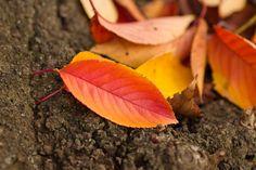 「赤く紅葉した落ち葉」