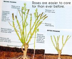 How to cut back rose bushes in the fall