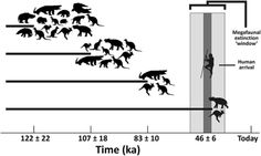 Fig. 4. Late Pleistocene temporal occurrences of megafauna from the intensively sampled Kings Creek Catchment, Darling Downs, southeastern Queensland (13), in relation to the hypothesized continental megafaunal extinction window and earliest evidence of human colonization. Rarefaction, bootstrapping, and associated statistical analyses demonstrate that the apparent temporally progressive loss of megafauna was a real phenomenon and cannot simply be explained as a result of taphonomic or…