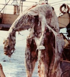 n 25th April 1977, the Japanese trawler Zuiyo-maru accidentally hauled up a 10-m-long vertebrate carcass while about 30 miles off the coast of Christchurch, New Zealand. They didn't want to retain the carcass for fear of contaminating their catch, but it was photographed and a few tissue samples were taken before it was discarded.