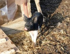 Buster is an adoptable Pig (Farm) Pig (Farm) in Methuen, MA. Buster is an adorable young nutered male. He is small now but is a Hampshire pig and will grow to be around 500 lbs. Buster is extremly soc...