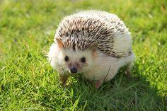 Spring is in the air. #hedgehog