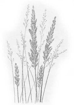 Botanical Art, Botanical Illustration, Illustration Art, Illustrations, Grass Drawing, Line Drawing, Line Art, Pencil Drawings, Art Drawings