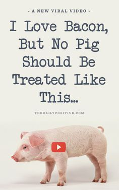 I Love Bacon, But No Pig Should Be Treated Like This...