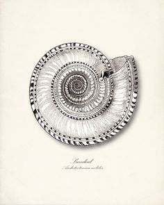 Sundial, Architectonica nobilis, a vintage sea shell print | expired Etsy listing