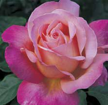 Have it...New for my 2013 gardens. Hybrid Tea Roses | Chicago Peace Hybrid Tea Rose | Edmunds' Roses