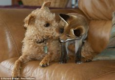 Rosie, a 15-week-old fox cub, was left abandoned when her father killed most of her litter before the cubs had opened their eyes for the first time. Now she has formed a firm friendship with terrier Maddy, a Lakeland Patterdale cross, at the home of her owner Richard Bowler in Wales, despite the two creatures being natural enemies.