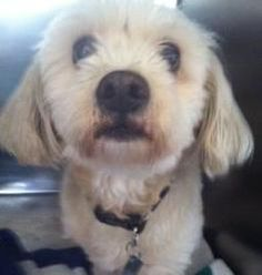 Julius is an adoptable Coton De Tulear Dog in Carrollton, TX. 7-7-13 Meet Julius! This little guy game to us after his owner passed on and no one in his family was able to take care of him. From what ...