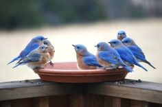 Dear bluebirds, please come to my yard.  Thank you.