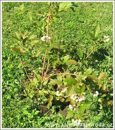 mladá borůvka, foto med Milan, Gardening, Fruit, Plants, Lawn And Garden, Plant, Planets, Horticulture