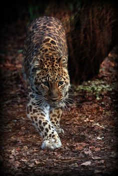 Amur Leopard by wendysalisbury on Flickr.