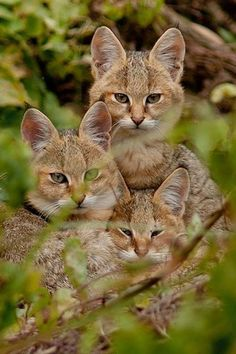 Jungle cats (Felis chaus). The jungle cat, also called the reed cat or swamp cat, is a medium-sized cat native to the Middle East, South and Southeast Asia and southern China. It is a member of the genus Felis and was first described by Johann Anton Güldenstädt in 1776.