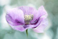 Opium Poppy by Jacky Parker on 500px