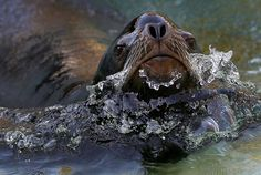 A Californian sea lion swims in his basin, at the zoo in Berlin, Germany, Monday, Oct. 29, 2012. (AP photo) #animals #water