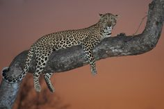 A leopard rests on a Marula tree branch with the last light from the setting sun behind. Sabi Sands Game Reserve, South Africa. Photographer: Mark Dumbleton
