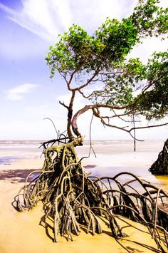 Learn how important are mangrove tree.