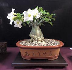 5ta, Exhibicion Bonsai en el Tropico