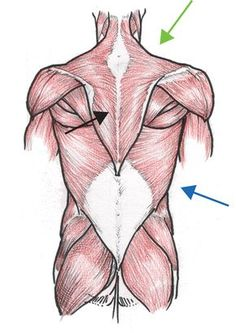 Diagram back muscles upper back human anatomy diagram anatomy anatomical illustrations of muscle groups can be complicated someone had the decency to outline the ccuart Choice Image
