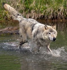 Wolf On The Move by Art Cole                                                                                                                                                                                 More