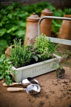 Planted herbs in pot