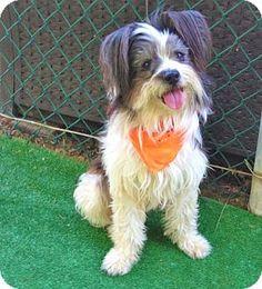 Burbank, CA - Papillon/Maltese Mix. Meet Dina, a dog for adoption. http://www.adoptapet.com/pet/13138867-burbank-california-papillon-mix
