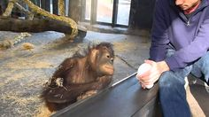 This Orangutan's Reaction To A Magic Trick Will Make Your Day