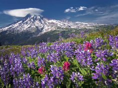 Lupines and Paintbush with Mount Rainier and Lenticular Cloud Mount Rainier National Park Washington by Dennis Frates  http://ift.tt/1YR1vgL  #standard #mountains #tropical #flowers #photographers #dennisfrates #nature #mountains #landscape #washington #flowers #wildflowerfield #yellowflower #pacificnorthwestplants #cascademountains #rural #spire #lupine #paintbrush #mt.rainiernationalpasrk #mt.rainier #like4like #picoftheday #photooftheday #canvasprints #rolledcanvas #gallerywrapped…