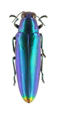 Chrysochroa fulminans