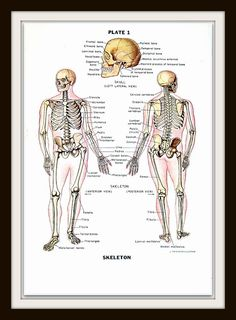 Human Anatomical Chart - The Skeleton  Vintage Book Pages from a 1949 Encyclopedia  Back of page has text and or pictures.    Approximately 6.5 x 10. (16.51 cm x 25.4 cm)  In very good condition after more that 50 years!  Vibrant colors and details.    Mat and frame for example purpose - see how amazing your print will look framed!    More anatomy and medical prints are available here:  https://www.etsy.com/shop/mysunshinevintage?section_id=13540720    If you would li...