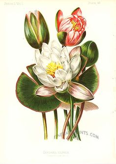 Antique print: picture of Sweet-scented Water Lily - Nymphaea odorata