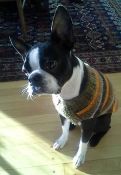 Boston Terrier Wearing his Winter Sweater - Wilson from Milwaukee, USA (Photo) - http://www.bterrier.com/boston-terrier-wearing-his-winter-sweater-wilson-from-milwaukee-usa-photo/