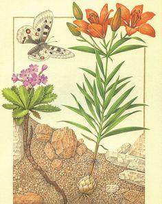 Rizoma di Primula marginta Bulbo di Giglio Rosso Apollo (Alpi)