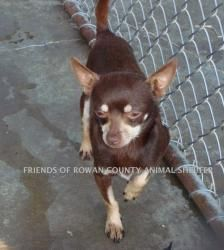 Levi is an adoptable Chihuahua Dog in East Brunswick, NJ. Levi- chocolate about 3 yrs. old. shy but friendly, warms up quickly really sweet once he is co mfortable, loves other dogs. To adopt him wil...