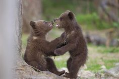 Childhood - brown bear cubs in Finland, by Sylwia Domaradzka on 500px