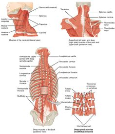 The top left panel shows a lateral view of the muscles of the neck, and the…