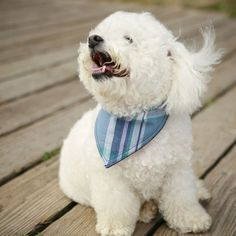 bichon smiling: this looks exactly like my dog growing up.