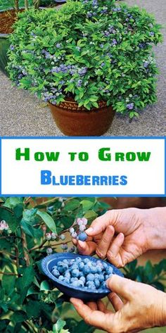 Grow blueberries in a large pot as they need the space to grow well 12 16 in diameter should suffice Blueberries grow well when planted together with strawberries. as the strawberries provide ground cover to keep the soil cool and damp (just how blueberri Diy Garden, Fruit Garden, Garden Care, Edible Garden, Garden Projects, Garden Landscaping, Veggie Gardens, Fruit Plants, Potted Garden