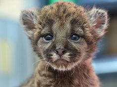 A team of panther biologists rescued the kitten at the Florida Panther National Wildlife Refuge in Collier County in mid-January when it was about a week old. The 1-pound male kitten had a dangerously low body temperature and was nonresponsive.   (Feb. 20, 2014, Tampa) [FWC]