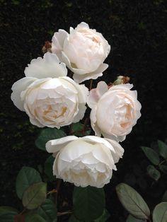 David Austin roses - desdemona - new for 2015