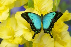 Tropical swallowtail butterfly, Papilio larquinianus, by:  Darrell Gulin