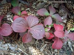 Bunchberry - cornus canadensis - acid loving Acid Loving Plants, Planting Bulbs, Roosevelt, Autumn, Fall, Red, Color, Fall Season, Fall Season