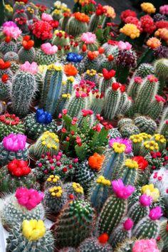 Cómo cultivar cactus en casa. Clic en la imagen para leer el artículo.
