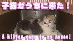 スコの子猫がきた【可愛い子猫のおもしろい動画】