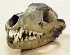 Thylacine (Thylacinus cynocephalus) - skull, oblique frontal view