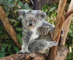 mama and baby koalas