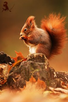 average female red squirrel running up a big (the most classic and solid) tree ~ young Heather McNamara type ~ (solid, professional photography) Animals And Pets, Baby Animals, Funny Animals, Cute Animals, Beautiful Creatures, Animals Beautiful, Cute Squirrel, Squirrels, British Wildlife