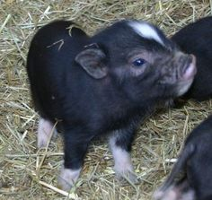 Royal Dandies, the smallest miniature potbellied pigs (potbelly pigs).